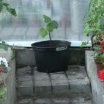 высадка черенков винограда в емкость большего размера