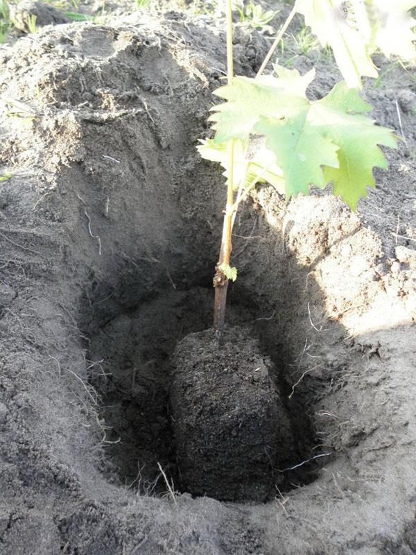 Размножение винограда весной - посадка