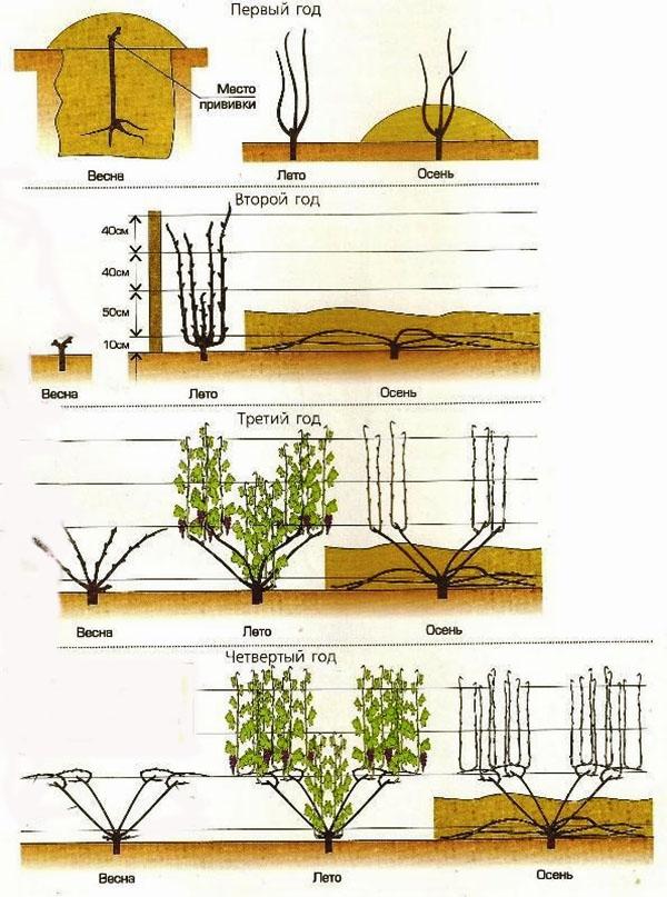 Схема ухода за виноградом