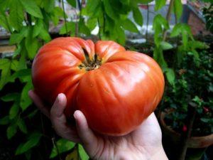 выращивание томатов в грунте
