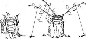 Деревья и получать несколько сортов с