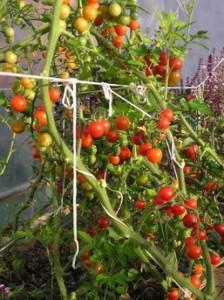 сладкая гроздь сорт помидор для теплицы
