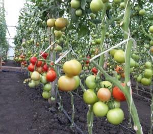 сорт помидор для теплицы Андромеда