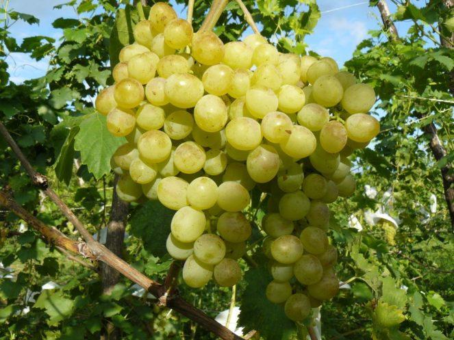 Созревший виноград «Восторг»