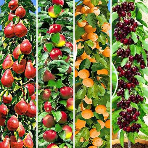 Беккер Интернет Магазин Плодовых Деревьев