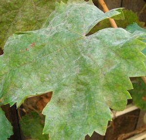 оидиум листьев винограда
