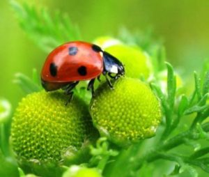 Это насекомое поедает тлей