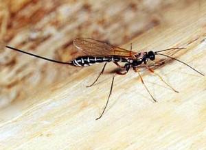 Наездник насекомое