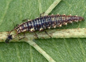 Златоглазка - личинка