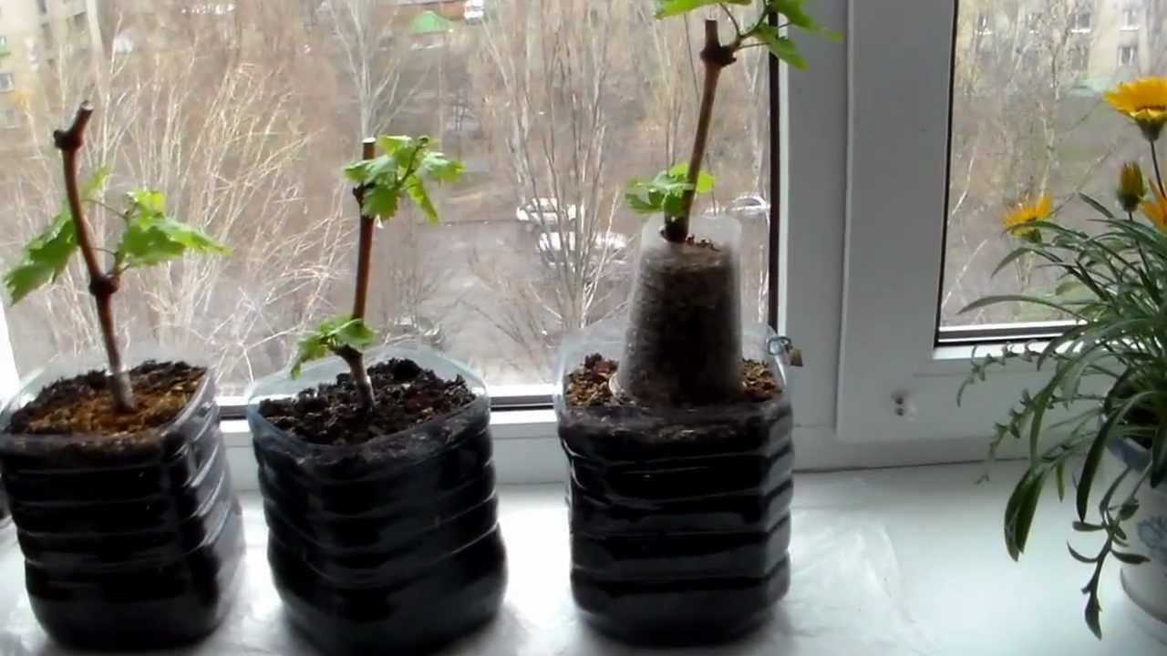 Проращивание в пластиковых стаканах черенков винограда