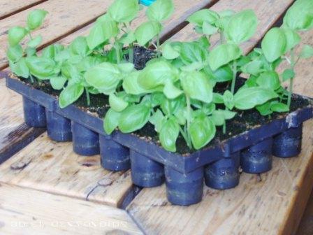 Правильное выращивание глицинии из семян: подготовка, посадка, уход 13
