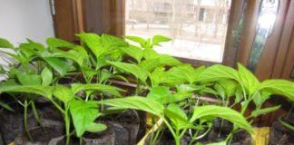 Выращивание перца в таблетках
