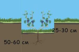 Как правильно посадить виноград, чтобы он не вымерзал