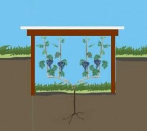 защита винограда от воды при его укрытии