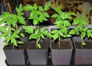 Выращивание качественной рассады томатов