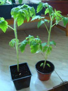 Некачественная рассада томатов