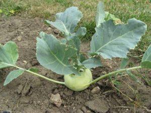 секреты выращивания кольраби