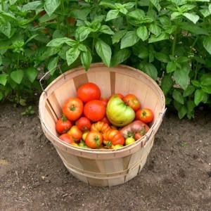 помидор ду-карао