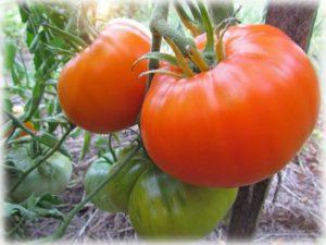 Сорт томата Алтайский оранжевый для выращивания