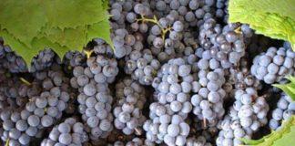 Изабелла черный сорт винограда для вина