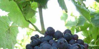 Черный сорт винограда Ранний Магарач