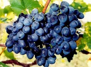 Черный сорт винограда Молдова