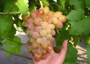 Розовый сорт винограда Розовая дымка