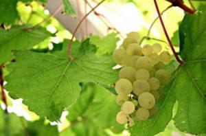 Как выбрать сорт винограда для вина?