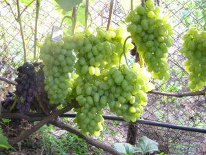 Первые пробные гроздья появляются на виноградной лозе на третий год роста