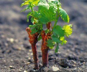 Высаживать саженцы следует в конце мая, когда установится стабильная теплая погода
