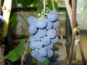 Стабильно плодоносящим сортом северного винограда принято считать сорт Таежный