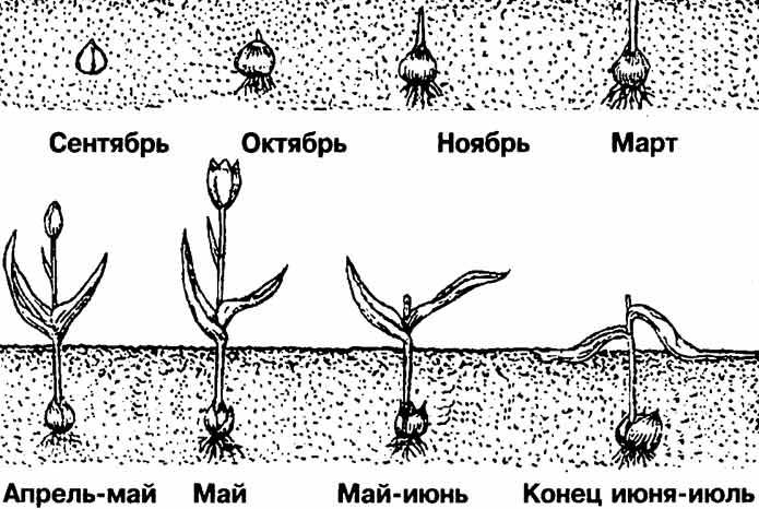 Тюльпаны когда выкапывать и когда сажать