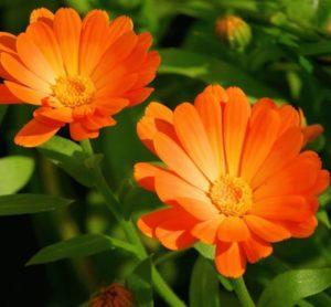 Календула: выращивание полезные свойства и применение в пищу