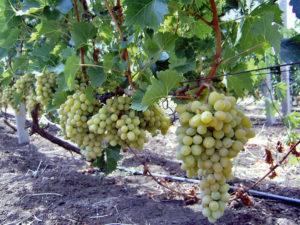 Виноград Восторг выращиваем с восторгом...