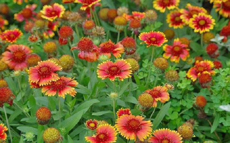 Выращивание Гайлардии из семян