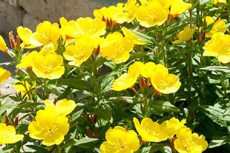 Главные преимущества многолетних цветов