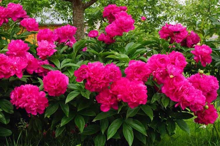 Летние цветы многолетники