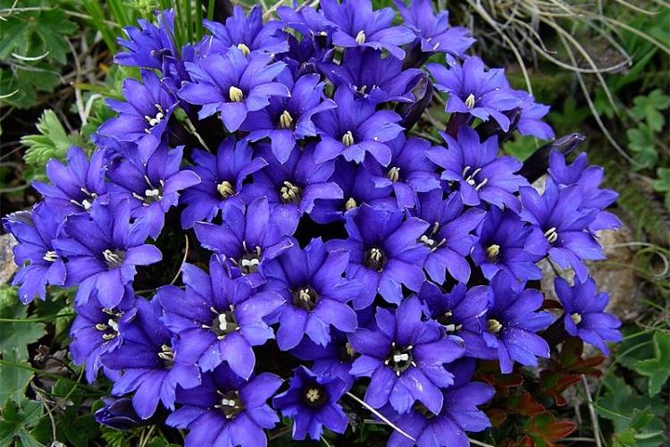 Первоцветы многолетние