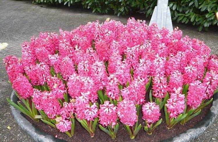 Виды многолетних цветов