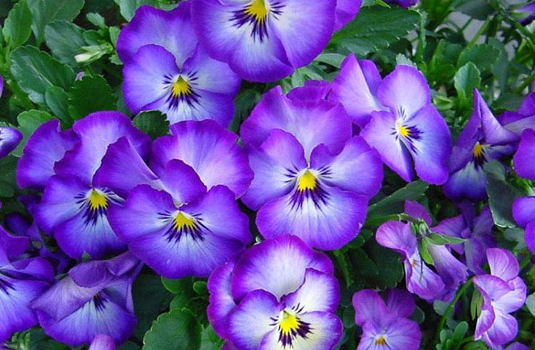 Что нужно фиалке для цветения