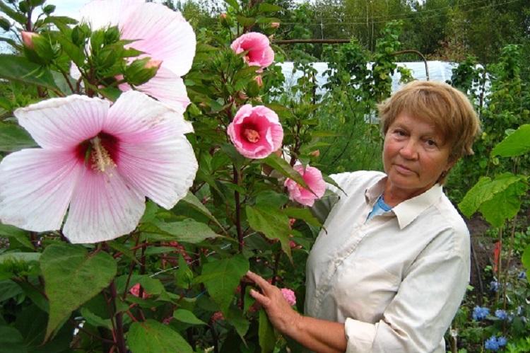 Гибискус травянистый садовый: описание